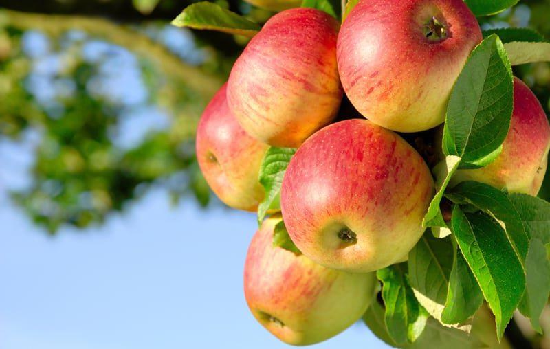 תפוחים על העץ