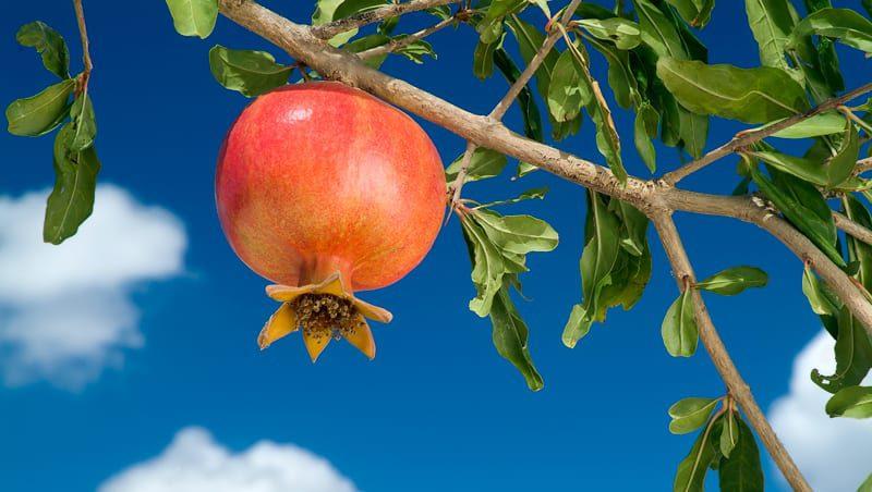 פרי רימון תלוי על ענף